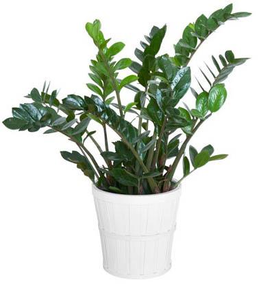zamiokulkas - Замиокулькас (долларовое дерево)